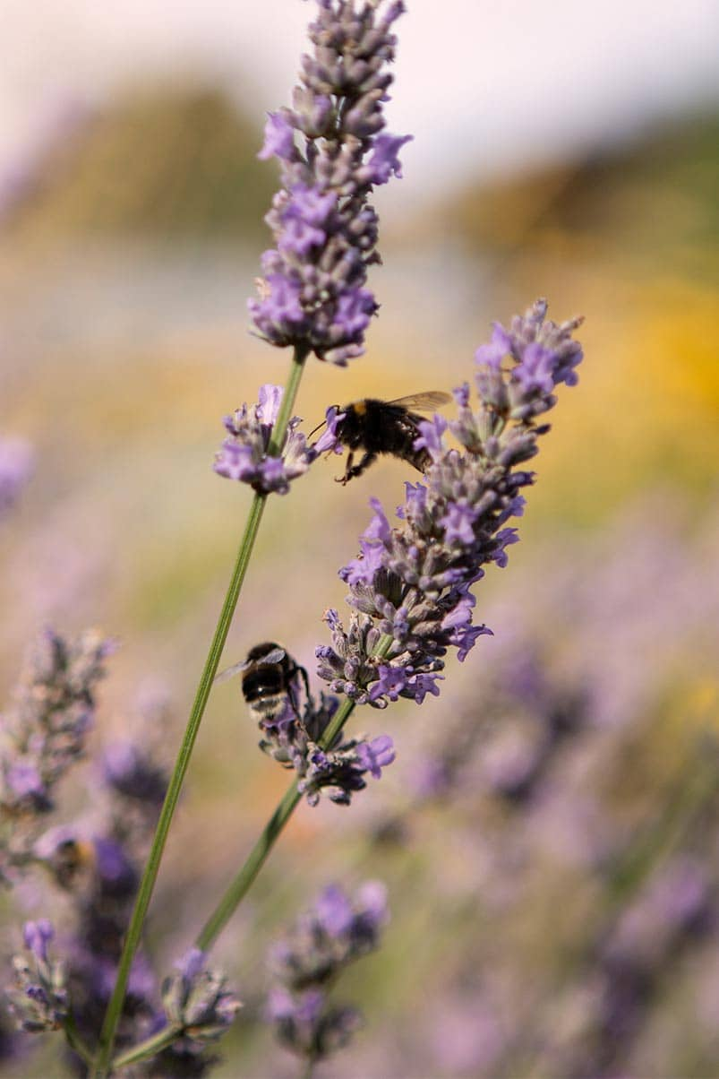 VALDONE Au - Sustainability in fashion. Bumble bee in lavender fields.